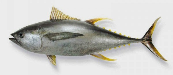 ton balıklı diyet